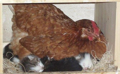 chickenonkittens-1674-19